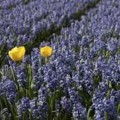 Single tulip in a field of purple grape hyacinths.
