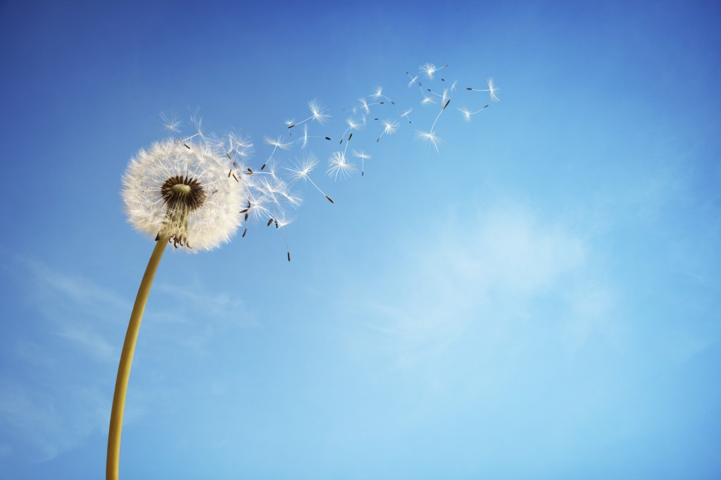 Dandelion dispersing seed