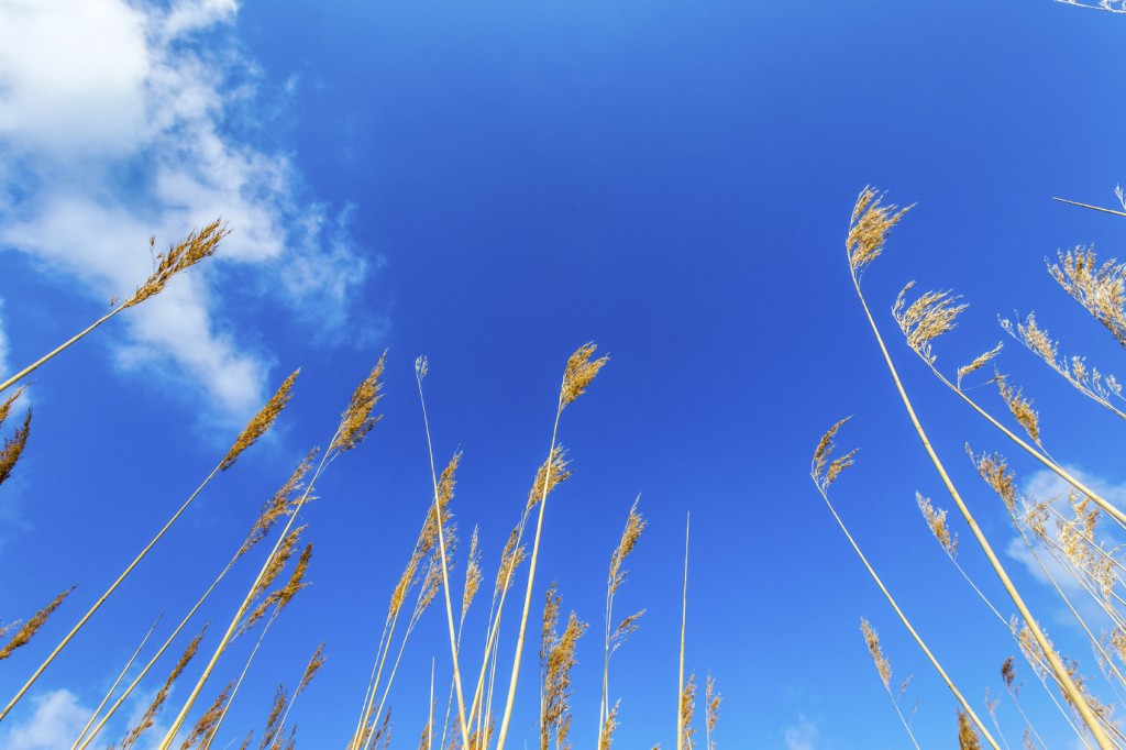 reeds of grass with clear blue sky
