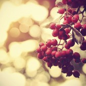Vintage photo of a red berries