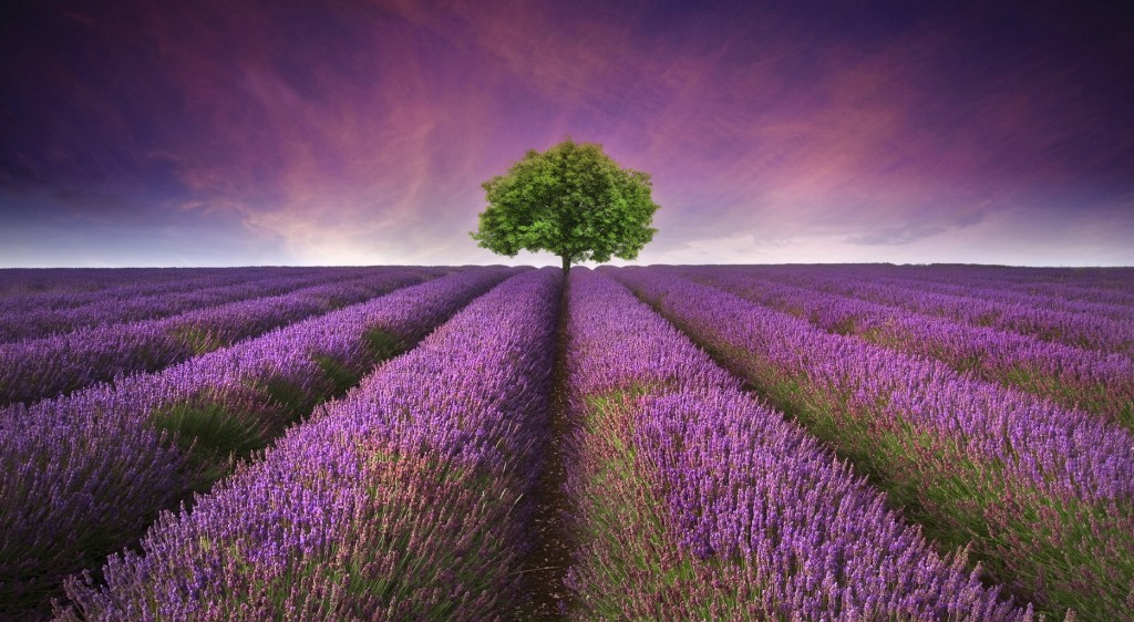 lavender field Summer sunset landscape with single tree on horizon contrasting colors