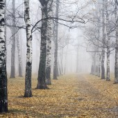 Pathway in deeply mist autumn birch park