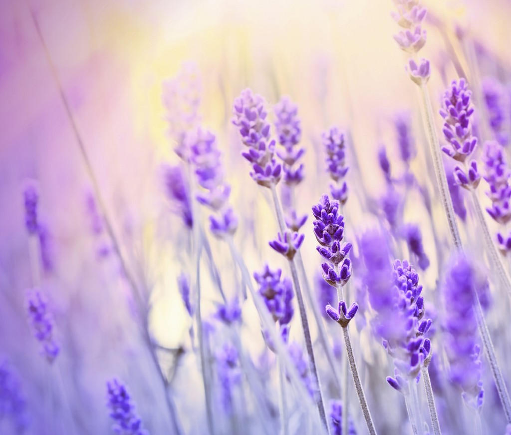 Lavender lit by sun rays