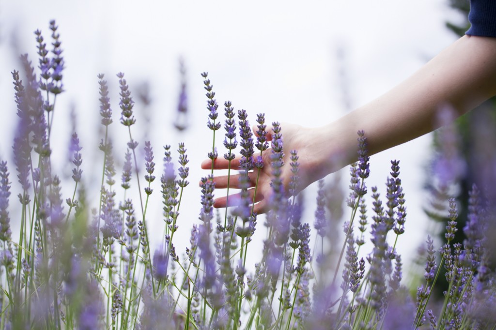 woman's hand touching lavender in a field