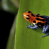 red striped poison dart frog blue legs of amazon rain forest in Peru,