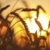 Eers of wheat. Soft sunset light.