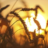 Eers of wheat. Soft sunset light.