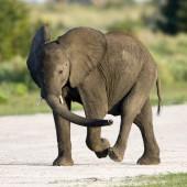 Energetic Young Elephant