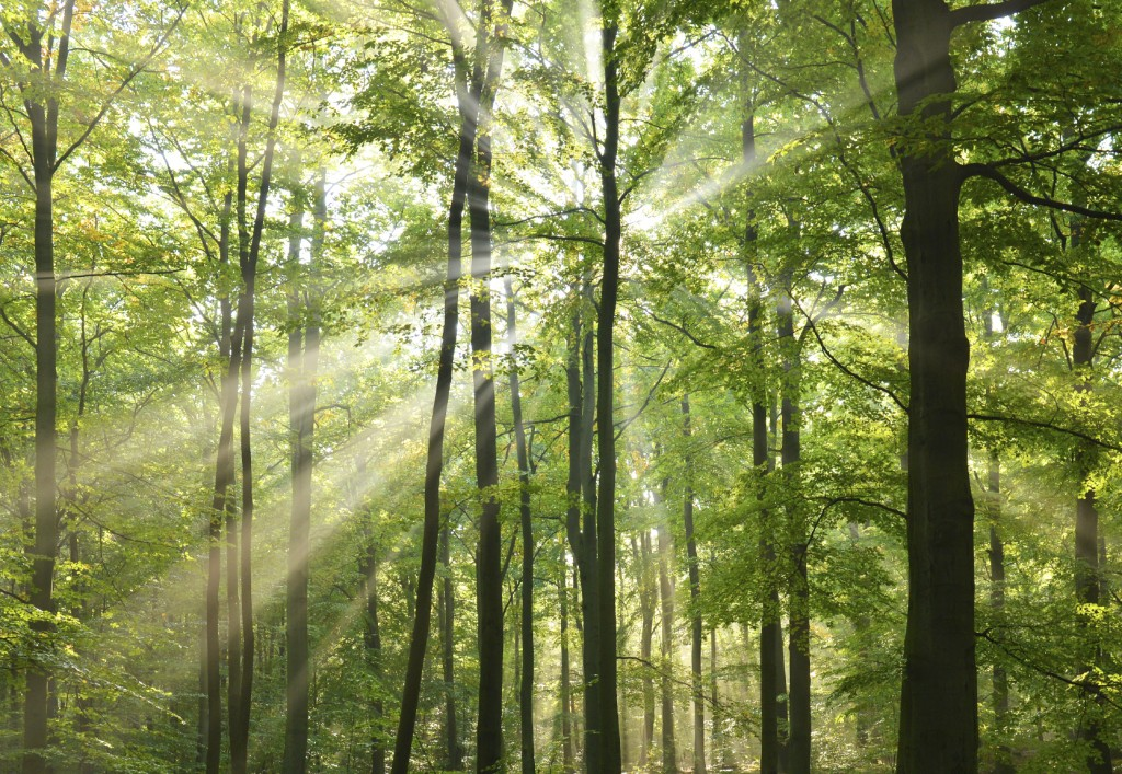 Beautidul sunbeams in green forest