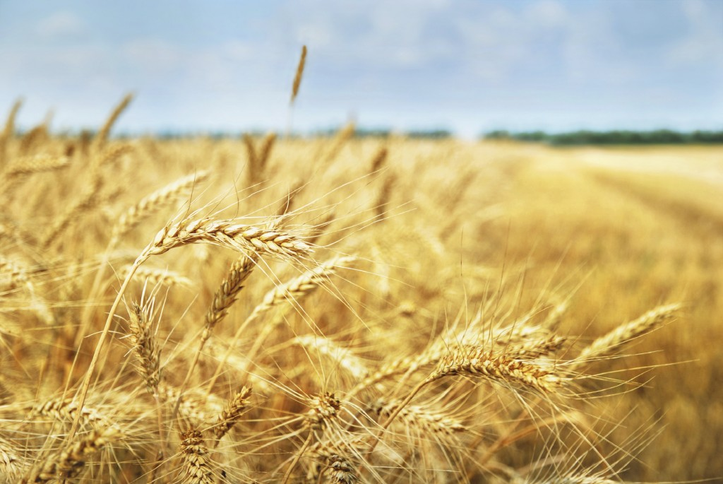 Yellow grain ready for harvest growing in a farm field.