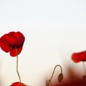 Closeup of a red poppy flower