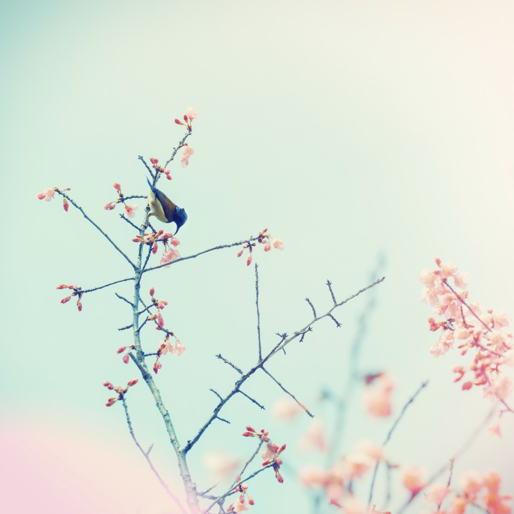 Cherry blossoms with a sunbird bird, shallow depth of field sel