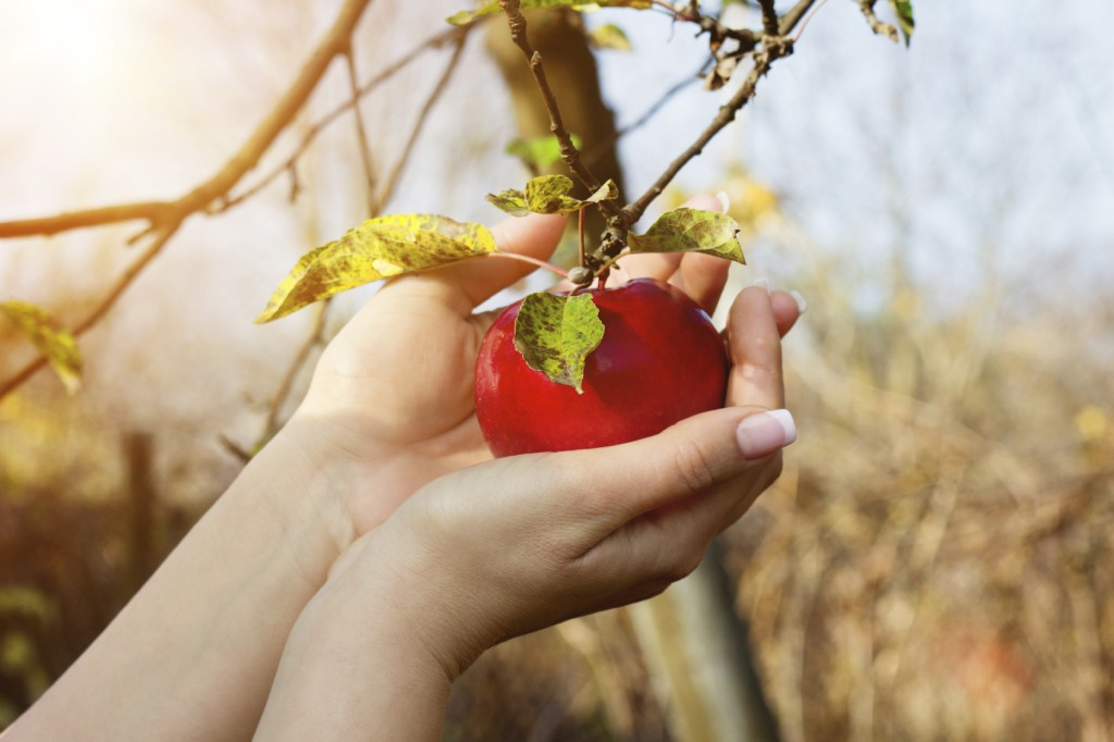 Woman's hands are taking down red apple from tree