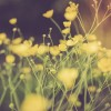 Vintage photo of buttercups in nature