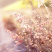 warm tone and blurry abstract background of Red Natal grass (Mel