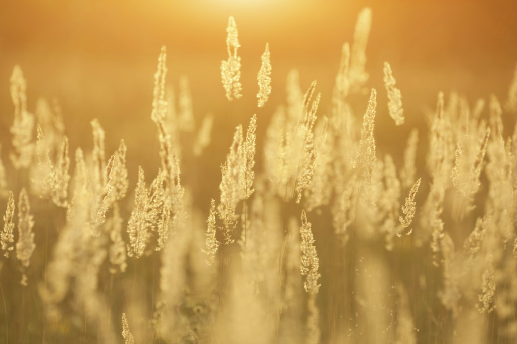 golden grass on a background sunset