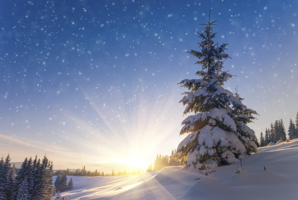 View of snow-covered conifer trees and snowflakes at sunrise.