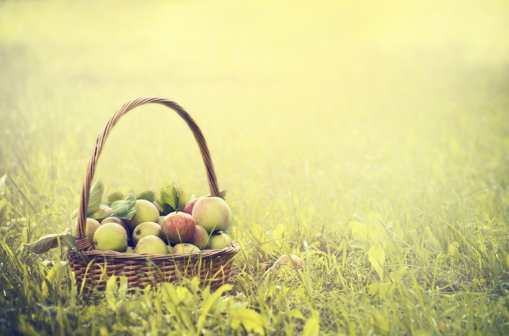 multicolored apples in a basket on the green grass and sun background, toned
