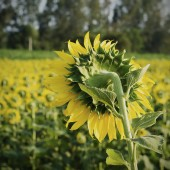 Sunflower back