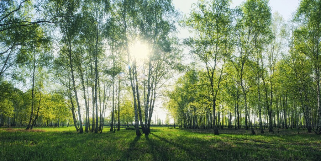 birch forest with morning sunlight beams panorama