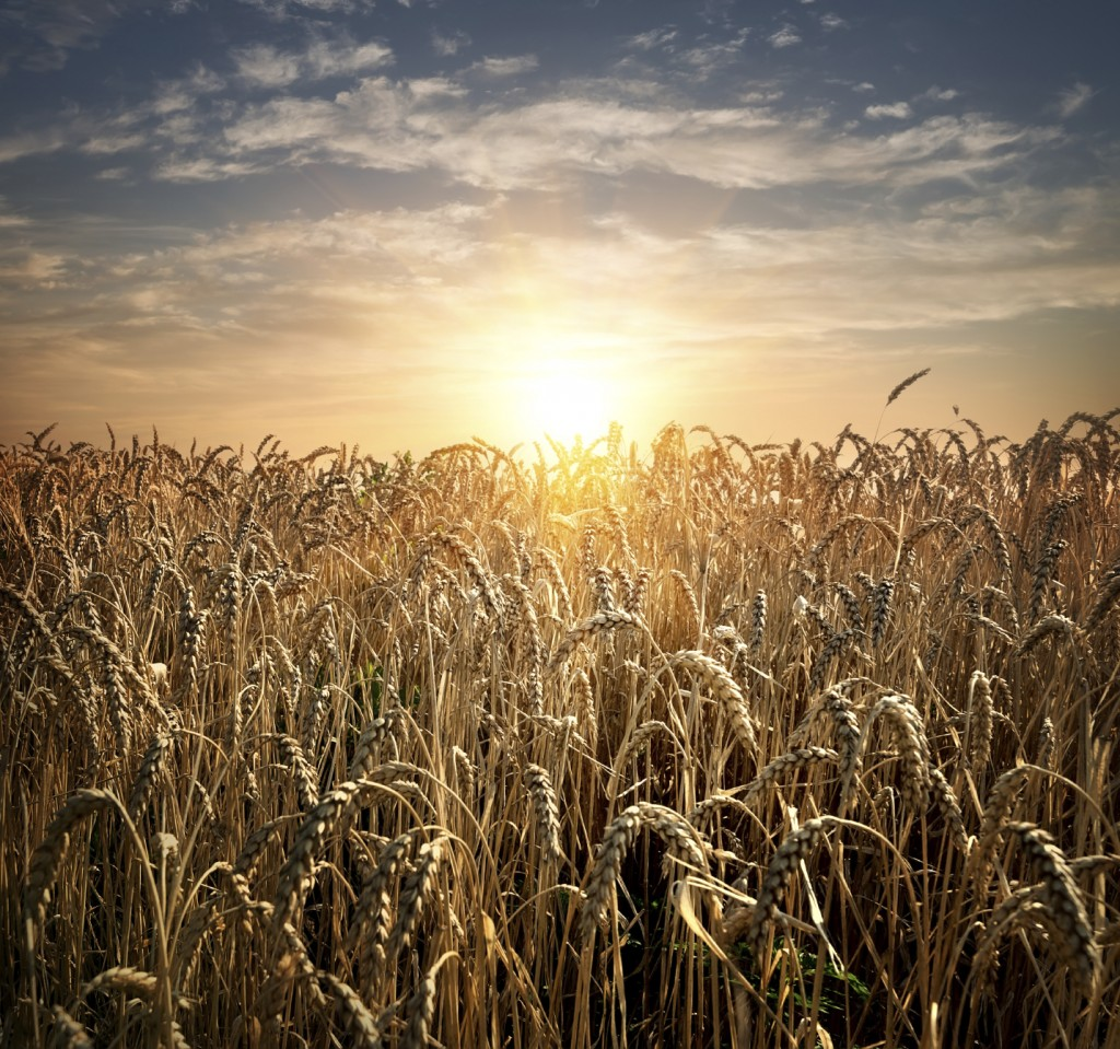 Field of ripe wheat at the sunset
