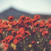 Field of wild poppy flowers. Toned picture