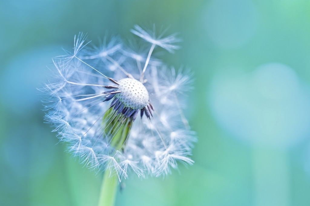 Beautiful white dandelion with seeds on blue background