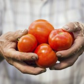 Hand holding organic tomatoes.