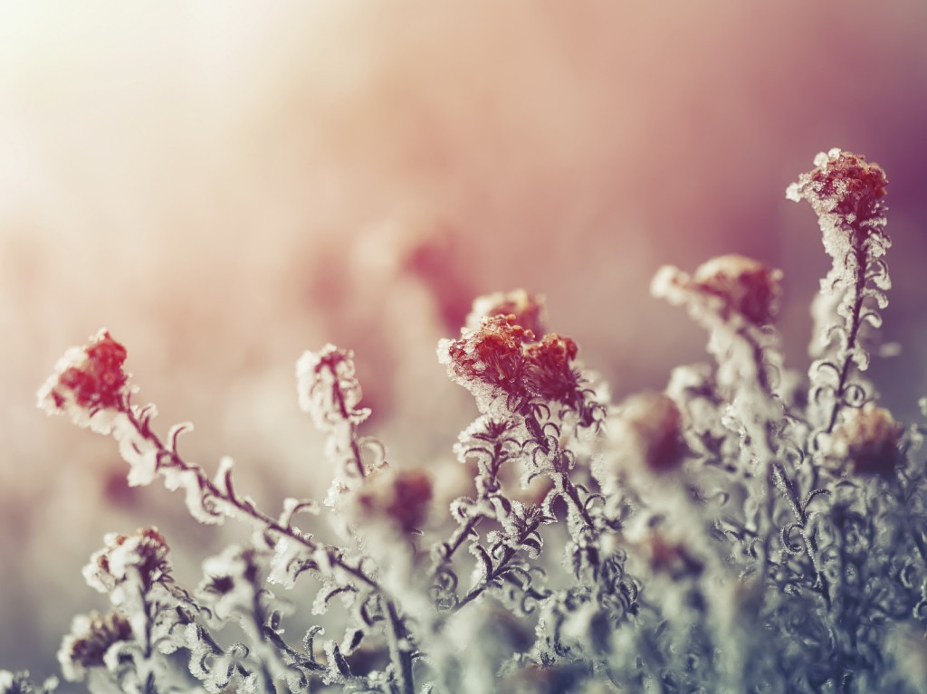 frozen flowers at sunset
