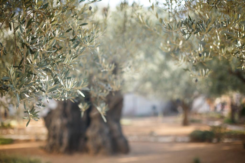 Garden of Gethsemane. Famous historic place in Jerusalem, Israel.