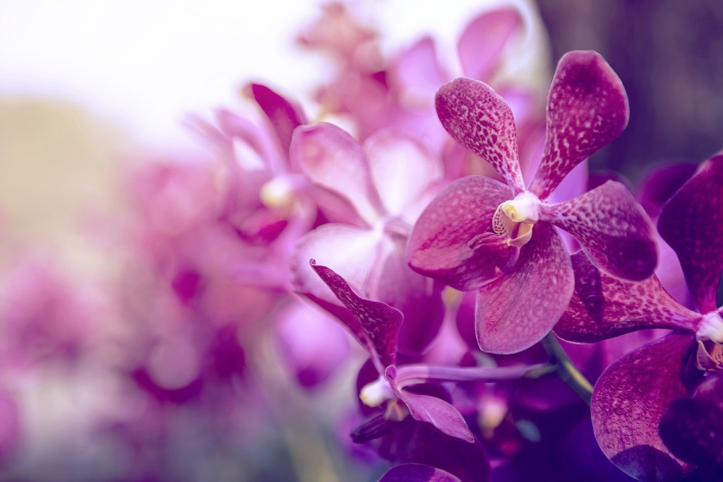 Beautiful Purple orchid flower tree