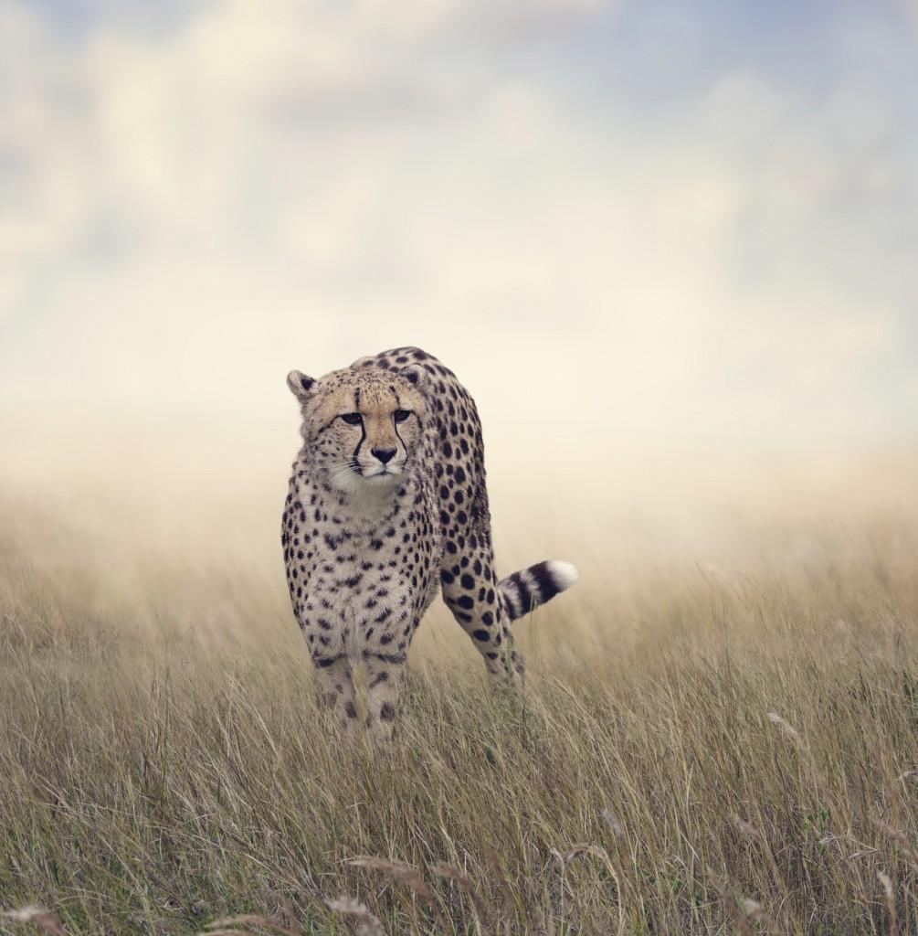 Cheetah Walking in The Grassland