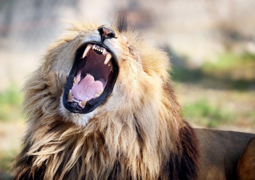 Angry male lion.