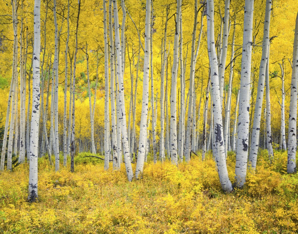 Colorado Rocky Mountains comes alive with color of autumn Aspen trees forest. Foreground fill with yellow vegitation leading back to featured aspen trees with well lit white trunks.