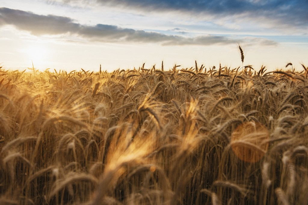 Backlit barley ready to harvest in beautiful landscape in the nature.