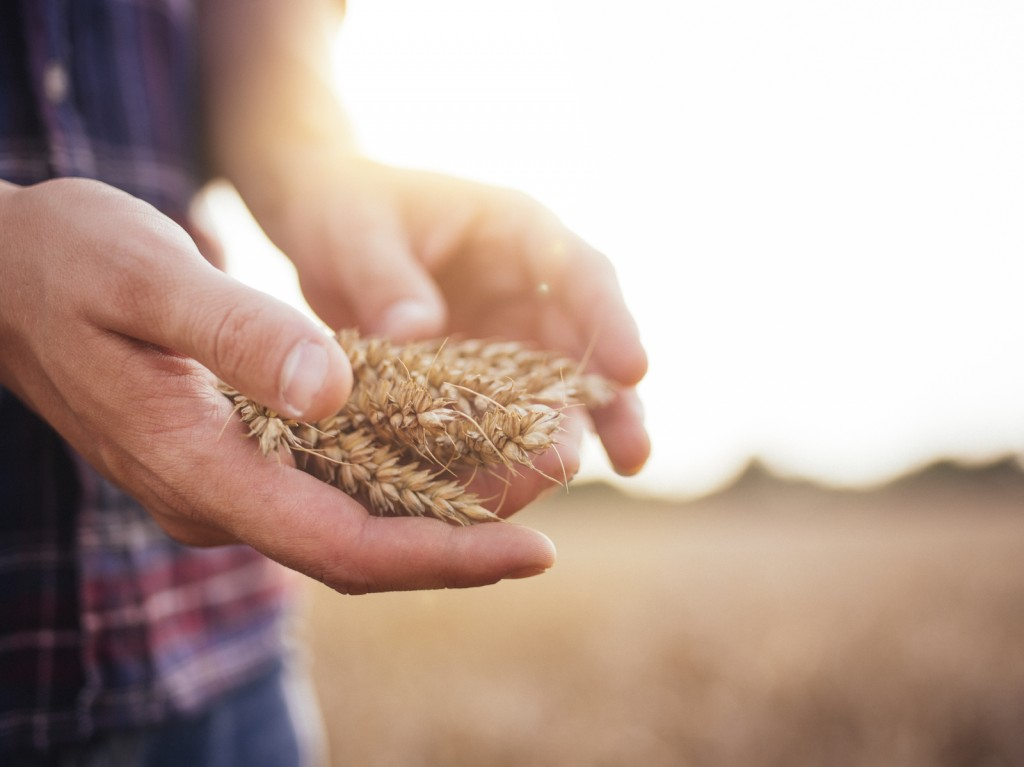 Farmer holding stalks of wheat in hands in a field