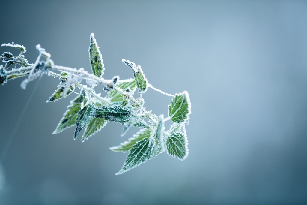 Green plant covered with frost on a cold winter morning.