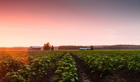 The summer sunset colors the potato leaves beautifully in the Northern Finland.