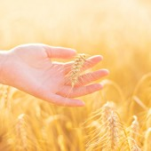 Female hand in cultivated agricultural wheat field. Crop protection concept.