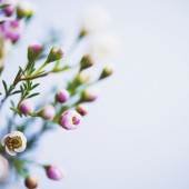 Delicate and beautiful fresh waxflowers against blue background