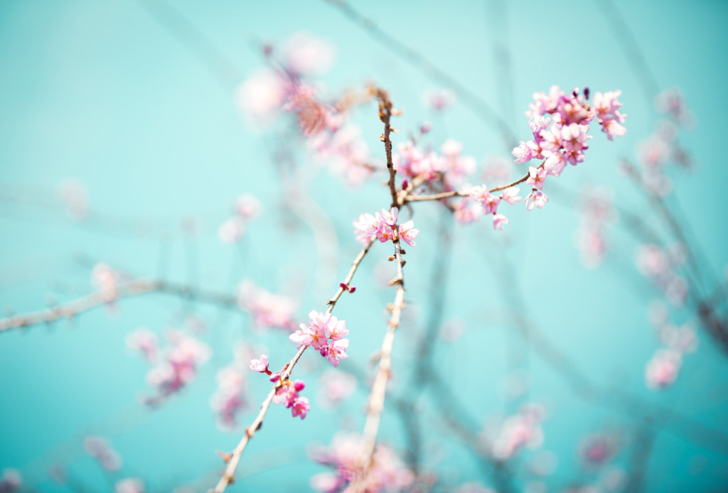 Blooming Tree Spring background with blooming cherry branches.