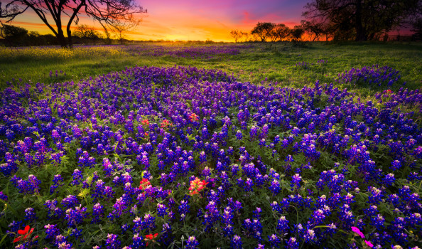 Spring Sunrise in the Texas Hill Country Dawn breaks over a field of bluebonnets and Indian paintbrushes near Fredericksburg, TX