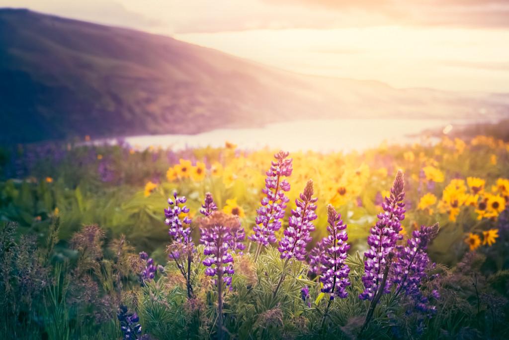Columbia Gorge Wildflowers In Morning Sunrise