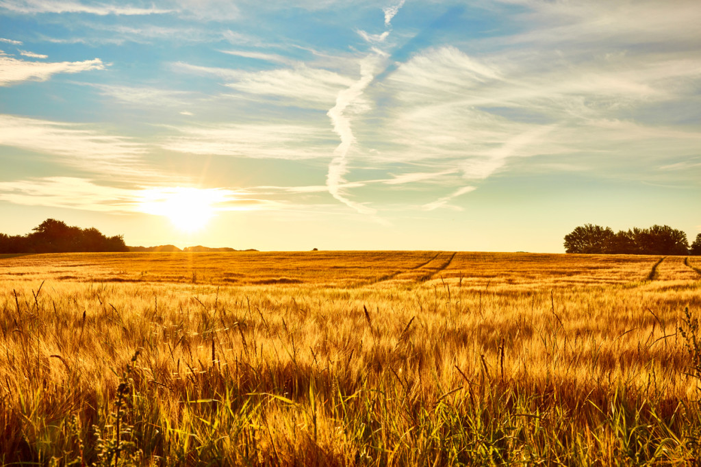 A cornfield early morning sun is about to rise and everything completely fresh