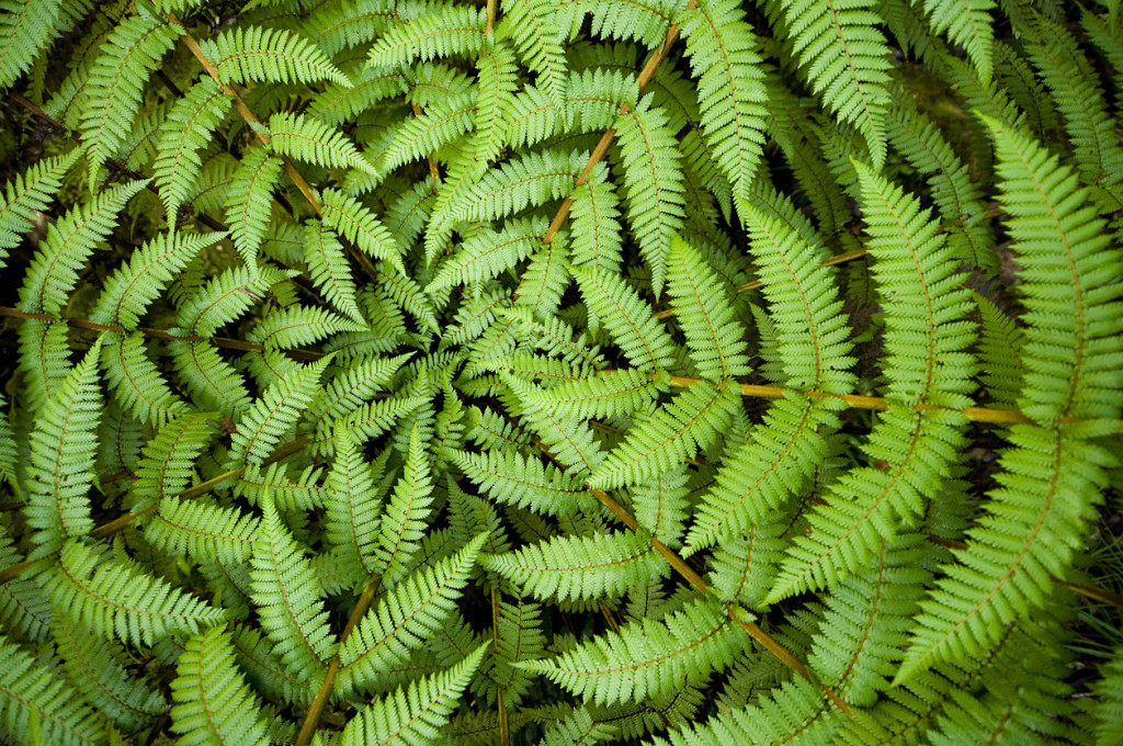 Fern Circle Centre of a fern, taken in New Zealand.