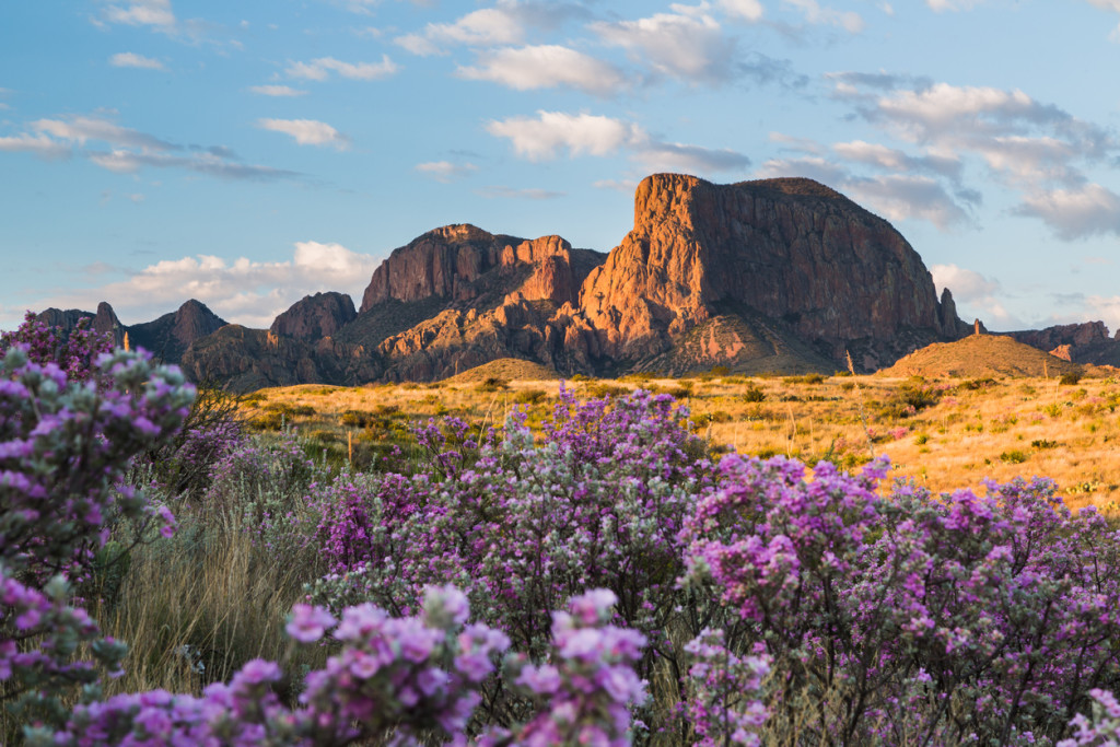 Following rainfall, the desert comes alive with color as sagebrush and ocotillo bloom with the Chisos Mountains in the background.