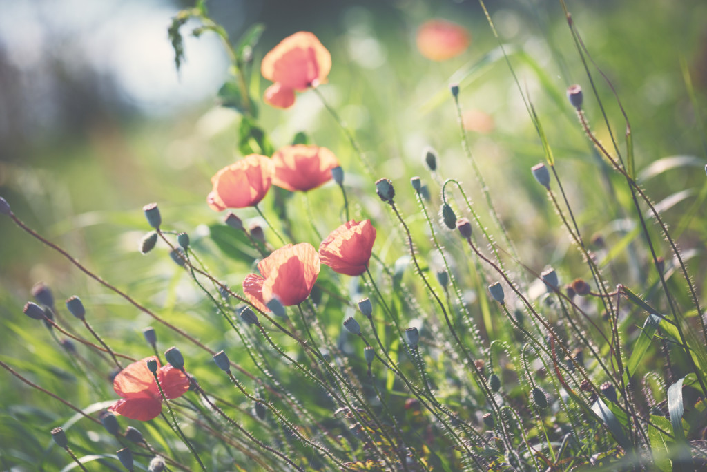 Red Poppy in summer