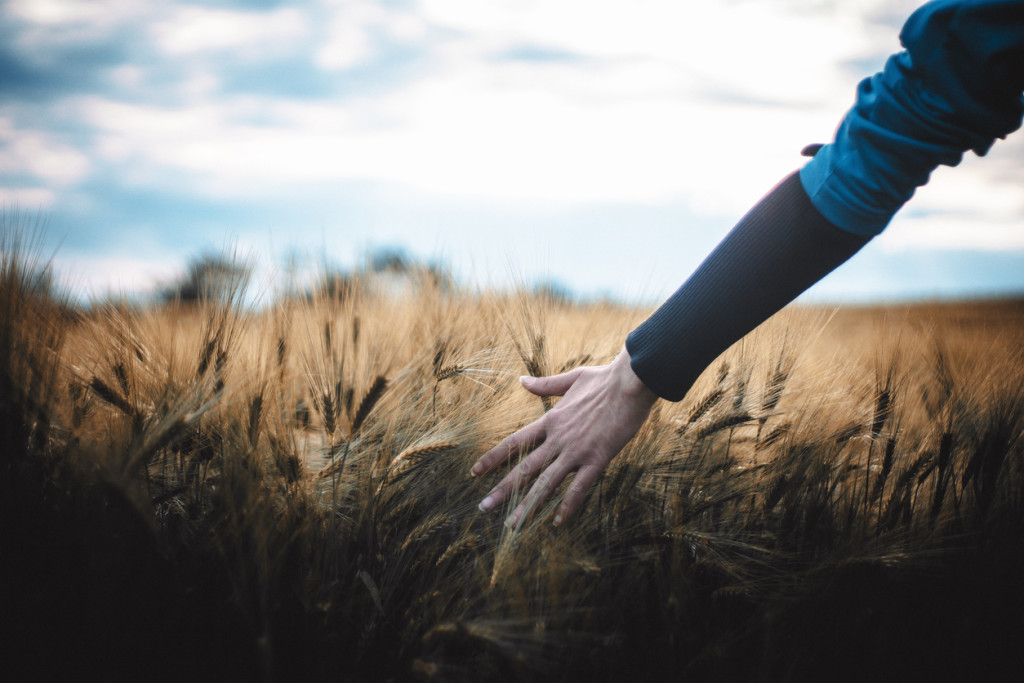 Woman hand Touching barley