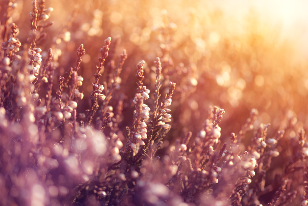Heather in meadow during sunrise