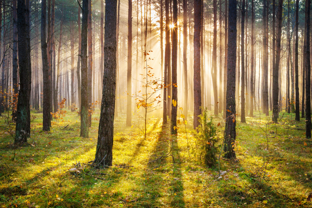 Morning Sun Rays Penetrating Forest